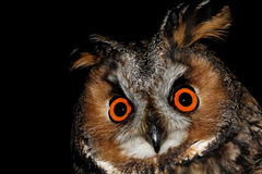 Long-Eared Owl. Birds of Europe and World - Long-Eared Owl (Asio otus Stock Photography