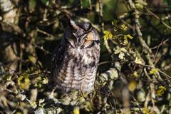 Long eared owl. And well Camouflage Royalty Free Stock Photo