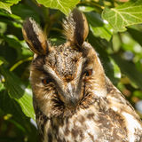 Long-eared owl. Sitting in the three Stock Photo