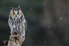Long-eared Owl. A Long-eared Owl (Asio otus) sitting on a perch with snow falling in the background Royalty Free Stock Images