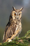 Long-eared owl. This is the long eared owl from czech republic Royalty Free Stock Photo