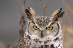 Long eared owl. Closeup. Northern Minnesota Stock Photos