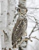 Long eared owl. In snow fall. Northern Minnesota Stock Photos