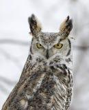 Long eared owl. In snowfall. Northern Minnesota Stock Photos