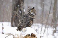 Long eared owl. Has caught a rabbit in snowfall Stock Image