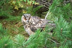 Long-eared owl. On the pine royalty free stock photography