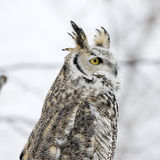 Long eared owl. In winter plumage Stock Photos