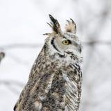 Long eared owl Stock Photos