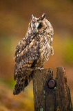 Long Eared Owl Stock Images