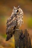 Long Eared Owl. Against a background of burnt orange autumn bracken Stock Images
