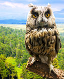Long-eared Owl. Against nature background Stock Image
