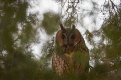 Long eared owl also known as Asio otus with characteristic eye disks. His main colour is predominant brownish. The family stigidae prefered diet is rodents stock photography