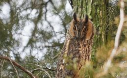 Long eared owl also known as Asio otus with characteristic eye disks. His main colour is predominant brownish. The family stigidae prefered diet is rodents royalty free stock photography