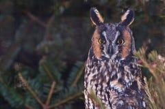 Long-Eared Owl. An Amazing Long-eared Owl Royalty Free Stock Photos