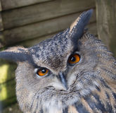 Long eared owl. Long eared american owl gazing royalty free stock image