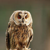 Long-eared Owl (Asio otus) Royalty Free Stock Photography
