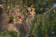 Long-eared Owl, Asio otus Stock Images