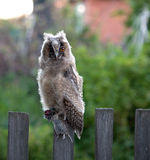Long-eared Owl (Asio otus). royalty free stock photography