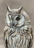 Long-eared Owl  (Asio otus ) Stock Photography