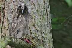 Long-eared owl (Asio otus). Juvenile long-eared owl in a tree Royalty Free Stock Photography