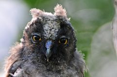 Long-eared owl (Asio otus). Closeup portrait of a juvenile long-eared owl in a tree Stock Photography