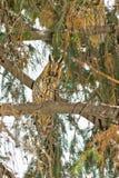 Long-eared owl  / Asio otus Royalty Free Stock Photo