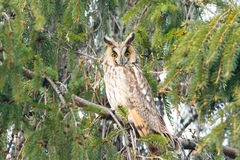 Long-eared owl (Asio otus) Royalty Free Stock Photos
