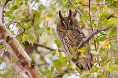 Long eared owl Royalty Free Stock Photos