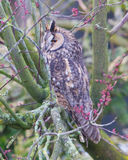 Long Eared Owl (Asio otus) Royalty Free Stock Image