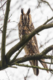 Long Eared Owl (Asio otus) Royalty Free Stock Images