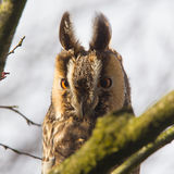 Long Eared Owl (Asio otus) Stock Photography