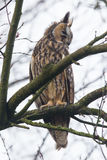 Long Eared Owl (Asio otus) Stock Photos