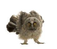 Long-eared Owl - Asio otus (7 weeks) Royalty Free Stock Photo