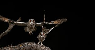 Long Eared owl, asio otus, adult in Flight, Normandy in France, stock video footage