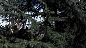 Long Eared Owl, asio otus, Adult in Flight, Taking off from Tree, Normandy in France, stock video