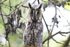Long-Eared Owl (Asio otus) Stock Photography