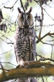 Long-Eared Owl (Asio otus) Royalty Free Stock Images