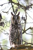 Long-Eared Owl (Asio otus) Royalty Free Stock Photo