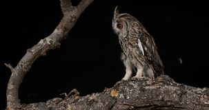 Long Eared Owl, asio otus, Adults, Pair, Normandy in France, stock video