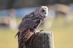 The long-eared owl, Asio otus in a german nature park stock photo