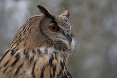 The long-eared owl, Asio otus in a german nature park. The long-eared owl, Asio otus, also known as the northern long-eared owl, is a species of owl which breeds royalty free stock images