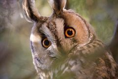 Long-eared owl - Asio otus. The long-eared owl Asio otus, also known as the northern long-eared owl, is a species of owl which breeds in Europe, Asia, and North Royalty Free Stock Photos