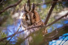 Long-eared owl Asio otus. The long-eared owl Asio otus, also known as the northern long-eared owl, is a species of owl which breeds in Europe, Asia, and North Royalty Free Stock Photography