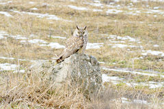 Long-eared owl (Asio otus)  / Asio otus Stock Photography