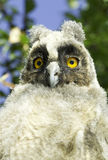 Long-eared owl (Asio otus) Stock Image