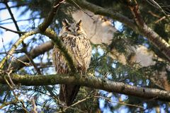 Long eared owl Asio otus bird of prey perched in a tree. Long eared owl Asio otus bird of prey perched and resting in a tree with Springtime colors facing camera Stock Image