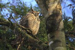 Long eared owl Asio otus bird of prey perched in a tree. Long eared owl Asio otus bird of prey perched and resting in a tree wih snow in winter daytime colors Stock Photos