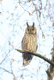 Long eared owl Asio otus bird of prey perched in a tree. Long eared owl Asio otus bird of prey perched and resting in a tree wih snow in winter daytime colors Royalty Free Stock Photos