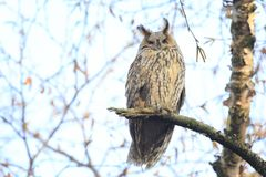 Long eared owl Asio otus bird of prey perched in a tree Royalty Free Stock Photography