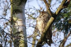 Long eared owl Asio otus bird of prey perched in a tree. Long eared owl Asio otus bird of prey perched and resting in a tree wih snow in winter daytime colors Stock Photography